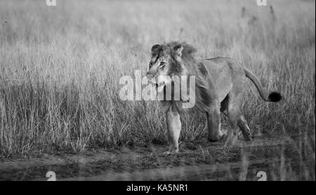 Prowling adult male Mara Lion (Panthera leo) breaks into a run to confront a rival in savannah long grass, Masai - Stock Photo