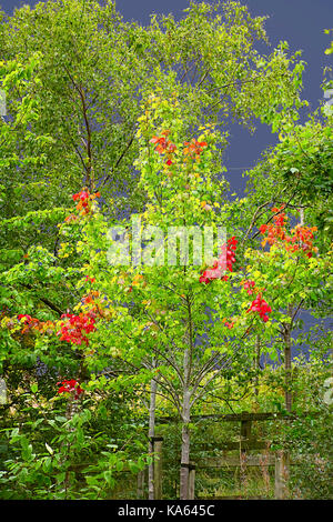 First red leaves on maple tree lightened by sun against dark heavy clouds before storm.Autumn colors,high contrast - Stock Photo