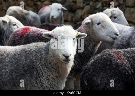 Herdwick sheep Lake District Cumbria England - Stock Photo