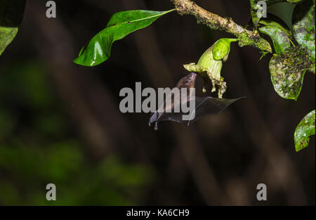 Geoffroy's tailless bat, Anoura geoffroyi, sucking nektar from a flower in Costa Rica rainforest, Laguna del Lagarto, - Stock Photo