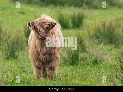 Highland cattle calf standing and looking in to the camera, Islay, Scotland - Stock Photo