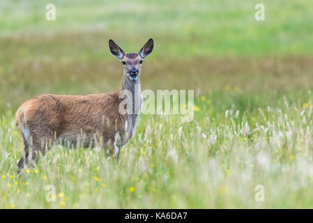 Female Red deer, standg and looking in to the camera with the mouth open, at Mull of Oa, Islay, Scotland - Stock Photo