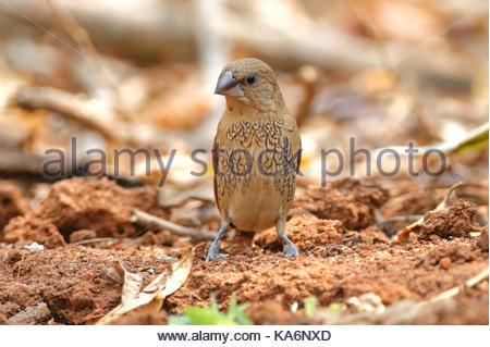 Scaly-breasted Munia Lonchura punctulata Cute Birds of Thailand - Stock Photo
