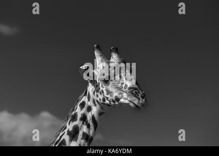 Close-up of head of Masai giraffe (Giraffa camelopardalis tippelskirchi) Masai Mara, Kenya in monochrome against - Stock Photo