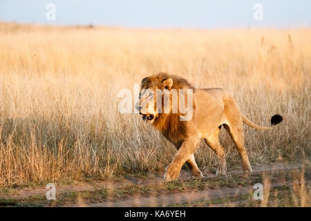 Apex predator: Adult male Mara Lion (Panthera leo) prowls along a track through long grass in early morning light, - Stock Photo