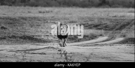 Predator prowls: Solitary male Mara lion (Panthera leo) with injured eye purposefully walking towards the camera, - Stock Photo