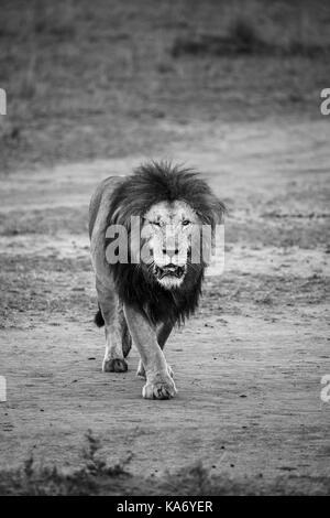 Solitary adult male Mara lion (Panthera leo) with injured eye purposefully walks towards the camera, in morning - Stock Photo