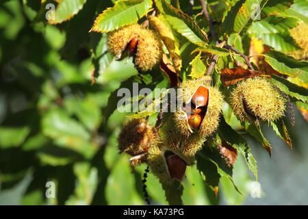 Chestnut (Castanea sativa) fruit in a branch - Stock Photo