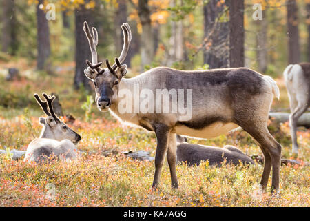 Reindeer in a pine forest - Stock Photo