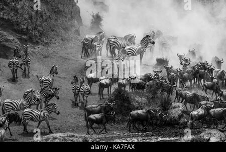 Herds of blue wildebeest (Connochaetes taurinus) and plains zebra (Equus burchellii) gather by the River Mara for - Stock Photo