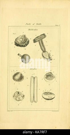 The elements of conchology; or Natural history of shells (9199416335) - Stock Photo