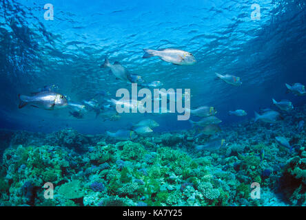 Egypt. Red Sea. Wildlife. Shoal of Sheepshead fishes over coral reef. - Stock Photo