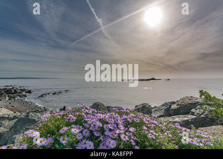 Michaelmas daisies in bloom against a backdrop of the sea at Mousehole in Cornwall. - Stock Photo