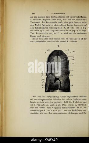 Salamandrina perspicillata und Geotriton fuscus BHL41759345 - Stock Photo