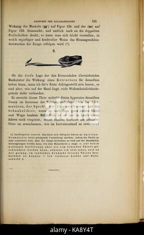 Salamandrina perspicillata und Geotriton fuscus BHL41759358 - Stock Photo