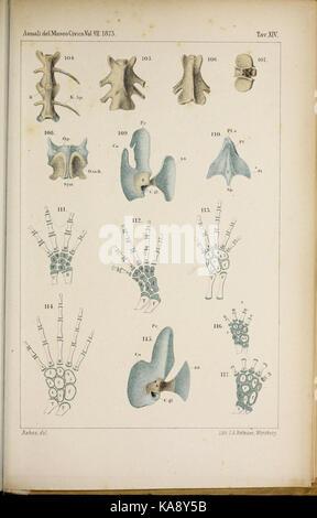 Salamandrina perspicillata und Geotriton fuscus (Tbl. XIV) BHL41759398 - Stock Photo