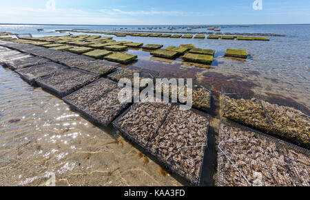 Oyster fishermen farmers growing oysters on their oyster farm in the baskets sitting in ocean water. - Stock Photo