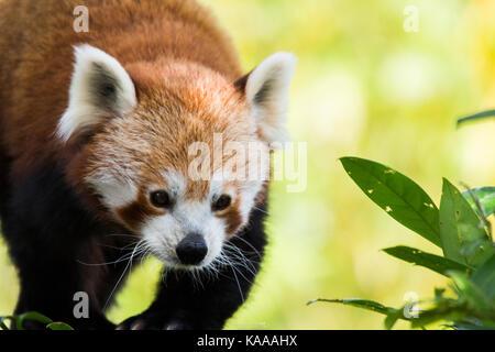 red panda stalking its food - Stock Photo