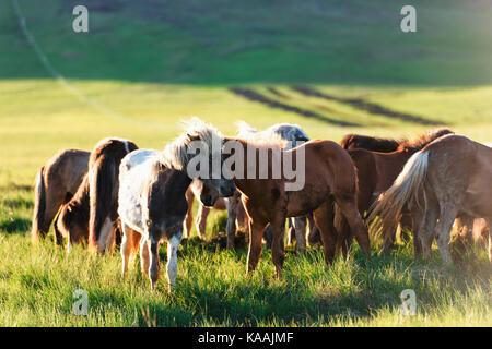 Herd of icelandic horses - Stock Photo