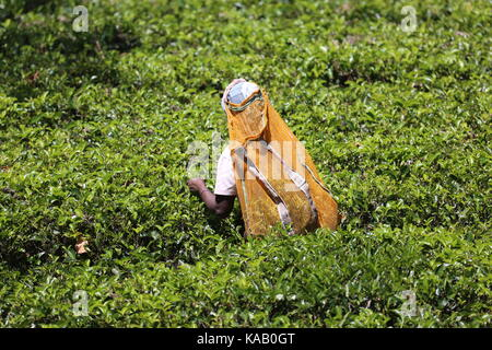Teepflückerin auf den Plantagen in Sri Lanka - Stock Photo