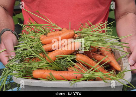 Freshly harvested home grown 'Nairobi' variety carrots are carried by a gardener through an allotment gardens in - Stock Photo