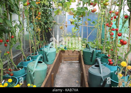 Tomato plants, stripped of their lower leaves to encourage a better harvest, growing in raised borders in a greenhouse - Stock Photo