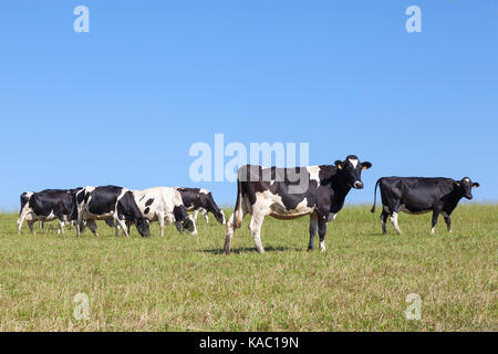 Herd of black and white Holstein dairy cattle grazing in a pasture on the skyline against sunny clear blue sky with - Stock Photo