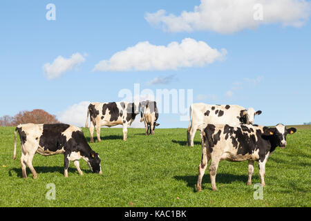 Herd of black and white Holstein dairy cattle grazing in late evening light in a lush green pasture with curious - Stock Photo