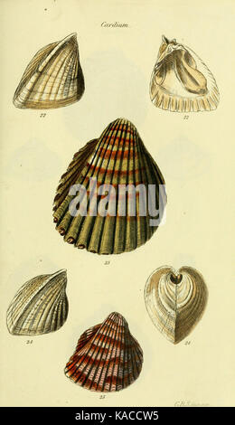 The conchological illustrations or, Coloured figures of all the hitherto unfigured recent shells (5977900407) - Stock Photo