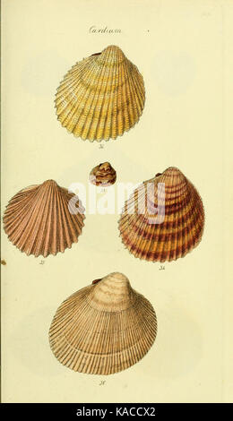 The conchological illustrations or, Coloured figures of all the hitherto unfigured recent shells (5977901011) - Stock Photo
