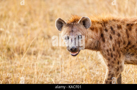 Close-up of head of an adult spotted hyena, Crocuta crocuta, Masai Mara, Kenya, a common predator - scavenger in - Stock Photo