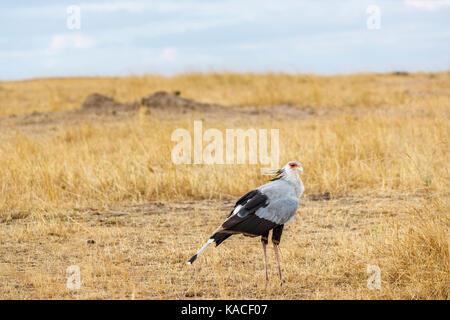 Sagittarius serpentarius, secretarybird, a tall and unusual bird of prey standing in grassland, Masai Mara, Kenya - Stock Photo