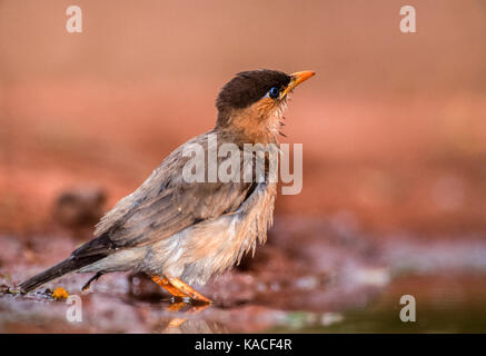 Brahminy Myna or Brahminy Starling, (Sturnia pagodarum), Keoladeo Ghana National Park, Bharatpur, Rajasthan, India - Stock Photo