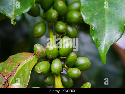 Green coffee beans from a Dorze tribe Coffea tree in Omo Valley, Gamole, Ethiopia - Stock Photo