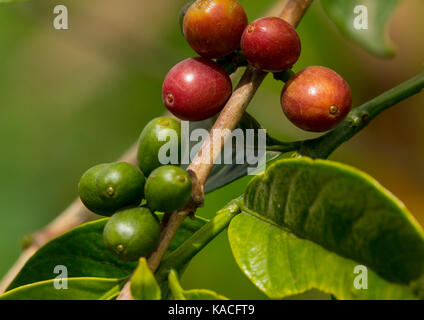 Green coffee beans from a Coffea tree in Omo Valley, Ganta, Ethiopia - Stock Photo