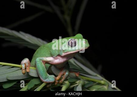 A Mexican Leaf Frog (Pachymedusa dacnicolor) perched on a small plant near Alamos, Sonora, Mexico - Stock Photo