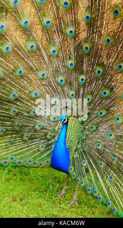 A male blue peafowl/ peacock (Pavo Cristatus) displaying his colorful plumage. (New Zealand) - Stock Photo