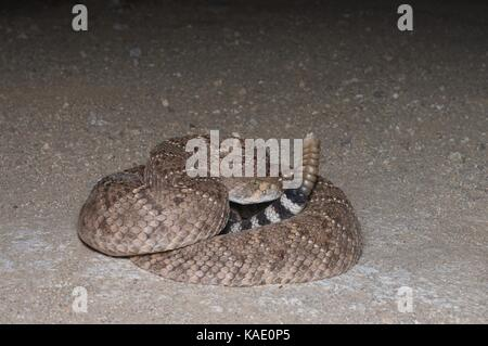 A Western Diamond-backed Rattlesnake (Crotalus atrox) coiled on a dirt road at night in southern Arizona, USA - Stock Photo