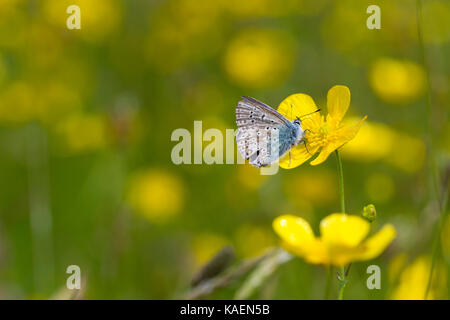 Common Blue Butterfly (Polyommatus icarus) adult male feeding in a Meadow buttercup (Ranunculus acris) flower in - Stock Photo