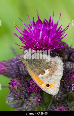 Small Heath (Coenonympha pamphilus) adult butterfly feeding on a thistle flower. Powys, Wales. June. - Stock Photo