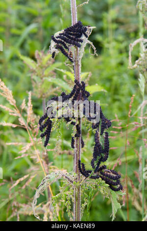 Peacock butterfly (Aglais io) larvae feeding gregariously on Stinging Nettle (Urtica dioica). Powys, Wales. June. - Stock Photo
