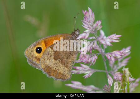 Meadow Brown butterfly (Maniola jurtina) adult female. Powys, Wales. July. - Stock Photo