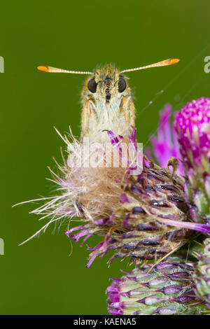 Small Skipper butterfly (Thymelicus sylvestris) adult female roosting on a Marsh thistle flower. Powys, Wales. July. - Stock Photo