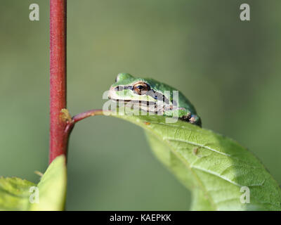 Wild tiny Pacific chorus frog (Pseudacris regilla, green color morph) perching on a leaf in Billy Frank Jr. Nisqually - Stock Photo