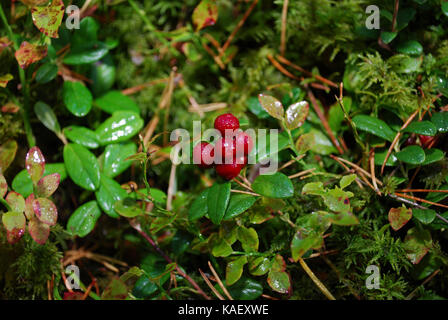 Lingonberry (Vaccinium vitis-idaea) with water drops grow in the forest. - Stock Photo
