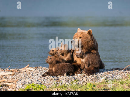 Mother brown bear and her four cubs resting in the afternoon sun at the edge of Kuril Lake, Kamchatka, Russia. - Stock Photo