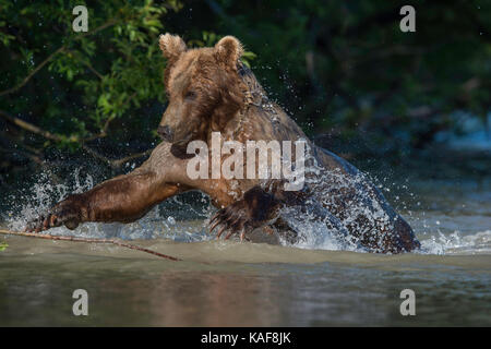 Brown bear pouncing on sockeye salmon, Kamchatka, Russia. - Stock Photo