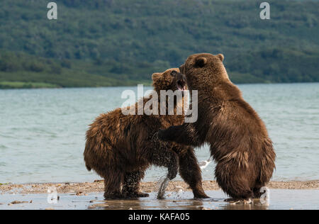 Two male brown bears fighting for dominance, Kuril Lake, Kamchatka, Russia. - Stock Photo