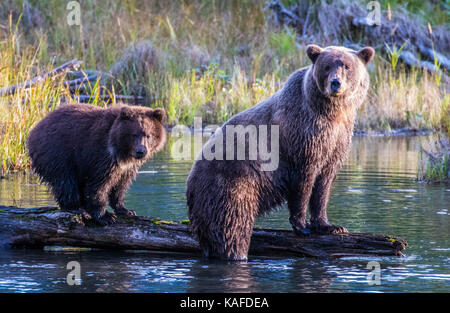 Wild Alaskan Brown Bear looking for salmon in Eagle River. Mama bear showing cub how to catch salmon. - Stock Photo