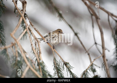 Pine siskin / Fichtenzeisig ( Spinus pinus ) perched in a conifer tree, adult in winter, Yellowstone Area, USA. - Stock Photo